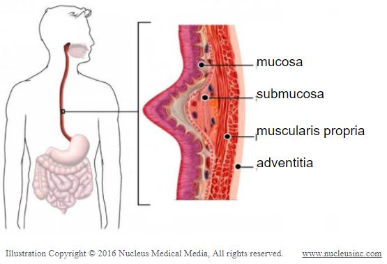 esophagus this blogger has esophageal cancer anatomy picture